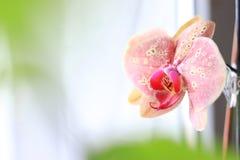 Phalaenopsisblomman?rbild white f?r bakgrundsorchidpink royaltyfri fotografi