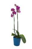 Phalaenopsisblumen in einem Potenziometer (voll - Ansicht) Lizenzfreie Stockfotos