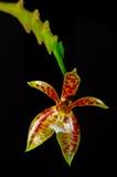 Phalaenopsiscornu-cervi Royaltyfri Foto