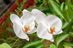 PhalaenopsiscultivarAphrodite Royaltyfri Bild