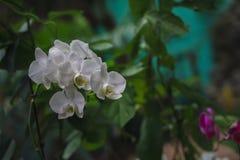 Phalaenopsishybride Mooie variëteits zeldzame orchidee Stock Foto