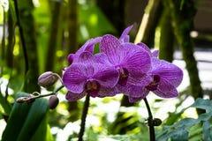 Phalaenopsismotte formte Orchideen Purpurrote gestreifte Blumenblätter; Farne und grüne Blätter im Hintergrund Hilo, Hawaii lizenzfreies stockfoto