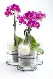 Phalaenopsisorchid i blommakruka Royaltyfri Foto