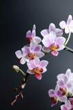 Phalaenopsisorchidee Lizenzfreies Stockbild