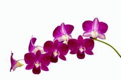 Phalaenopsisorchidee stock foto