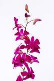 Phalaenopsisorchidee stock afbeeldingen