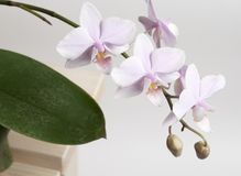 Phalaenopsisorchideeblumen Lizenzfreie Stockfotos