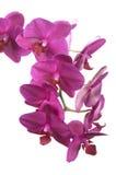 Phalaenopsisorchideenblumen (Schmetterlingsorchidee) Stockbild