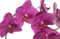Phalaenopsisorchideenblumen (Schmetterlingsorchidee) Stockfotografie