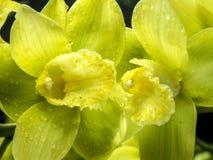 Phalaenopsisorchideengelbgrün Stockfotos