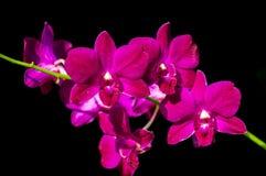 Phalaenopsisorchideennahaufnahme Lizenzfreies Stockfoto