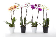 Phalaenopsisorchids i blommakruka Royaltyfria Bilder