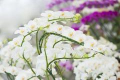 Phalaenopsisorkidé. royaltyfri bild