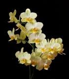 Phalaenopsisorkidé Arkivfoton