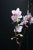 Phalaenopsisorkidé Royaltyfria Foton