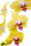 Phalaenopsisorkidé Arkivbilder