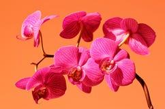 Phalaenopsisorkidé i blom på orange bakgrund Royaltyfria Foton