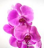 Phalaenopsisorkidé - rosa färg arkivbild