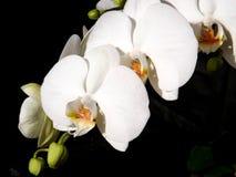Phalaenopsisorkidé White3 Arkivbilder