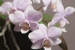 Phalaenopsisorkidén blommar fjärilsorkidén royaltyfri foto