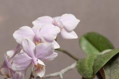 Phalaenopsisorkidén blommar fjärilsorkidén arkivbild