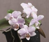 Phalaenopsisorkidén blommar fjärilsorkidén fotografering för bildbyråer