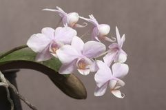 Phalaenopsisorkidén blommar fjärilsorkidén royaltyfria bilder