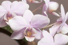 Phalaenopsisorkidén blommar fjärilsorkidén arkivfoton