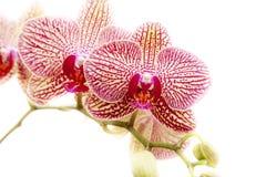 Phalaenopsisorkidér Royaltyfri Fotografi