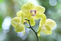 Phalaenopsisorkidér blommar i blom smyckar in skönheten av naturen Arkivbild
