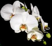 Phalaenopsisorkidévit Arkivbild