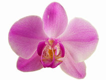 PhalaenopsisPurple Royaltyfri Foto