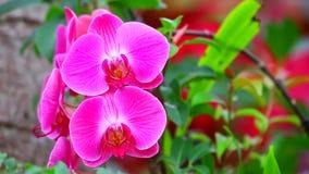 Phalaenopsisrosa färgorkidér lager videofilmer