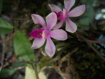 Phalaenopsistaenalis som den epiphytic orkid?n f?rbinder, gillar arkivbilder