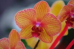 Phalaenopsistijger Royalty-vrije Stock Fotografie