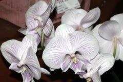 Phalaenopsisvit med purpurfärgade linjer Arkivfoto
