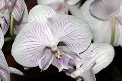 Phalaenopsisvit med purpurfärgade linjer Arkivbild