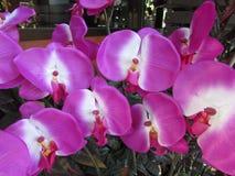Phalaeopsis Orchids at Chiang Mai Thailand Royalty Free Stock Photo