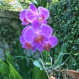 Phalaneopsis orkidé Fotografering för Bildbyråer