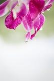 Phalangers pourpres et roses, fleur d'orchidée Photographie stock