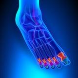 Phalanges-Anatomie-Knochen mit Ciculatory-System Lizenzfreies Stockbild