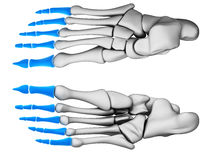 Phalanges Stock Images