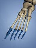 Phalanges de pied, modèle 3D Images stock