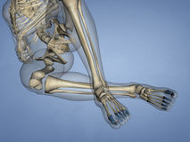 Phalanges of Foot, 3D Model stock photo