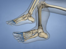 Phalanges of Foot, 3D Model royalty free stock image