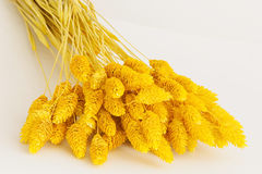 Phalaris grass (dyed in golden hue) Royalty Free Stock Images