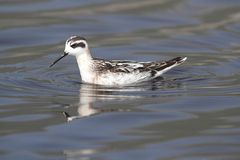 Phalarope à col rouge (lobatus de Phalaropus) Photo stock