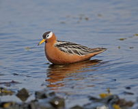 Phalarope rouge (Grey Phalarope) Images stock