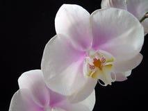 Phaleanopsis花白色和紫色中心 免版税库存图片