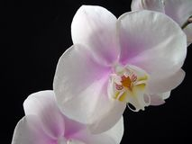 beauty flower Phaleanopsis white and purple center Royalty Free Stock Image